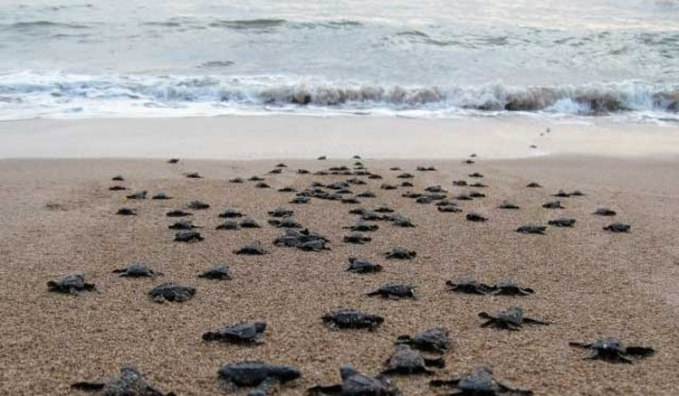 group of many turtle hatchlings heading towards ocean water on sand