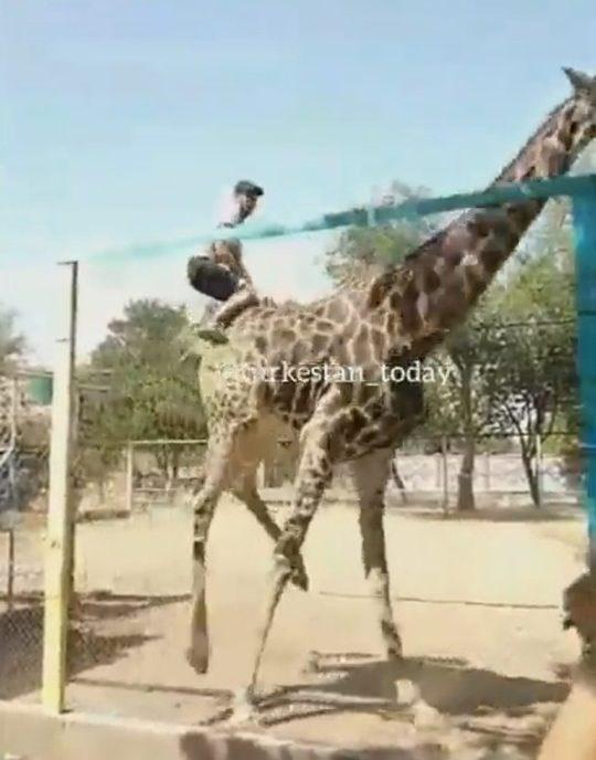 Drunk man climbs into giraffe enclosure to ride giraffe