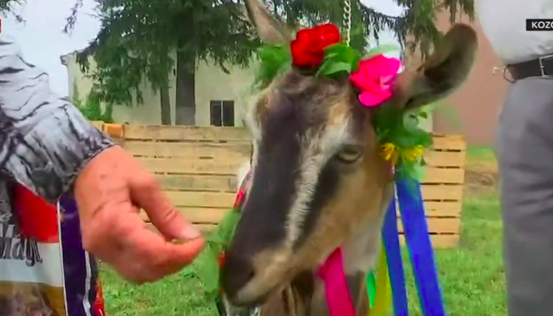 goat dressed in streamers and flowers