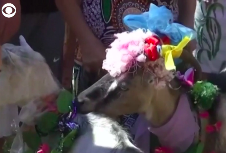 goat with colorful headdress on head
