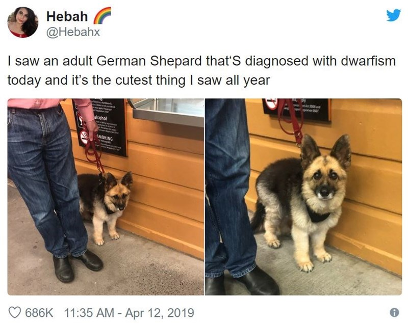 Mammal - Hebah @Hebahx I saw an adult German Shepard that'S diagnosed with dwarfism today and it's the cutest thing I saw all year p alcohol SMOKING 686K 11:35 AM - Apr 12, 2019
