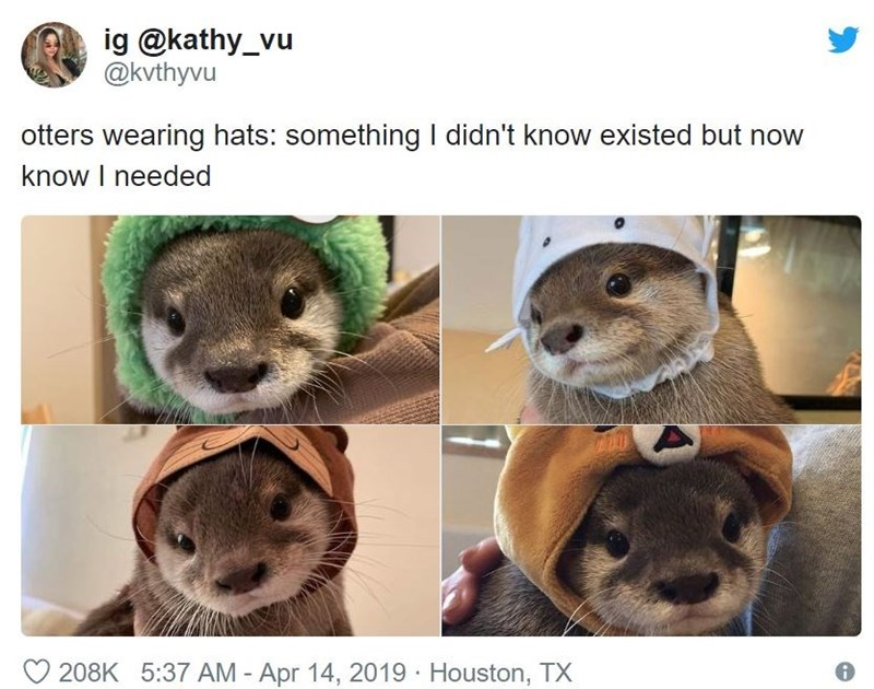 Mammal - ig @kathy_vu @kvthyvu otters wearing hats: something I didn't know existed but now know I needed 208K 5:37 AM - Apr 14, 2019 Houston, TX