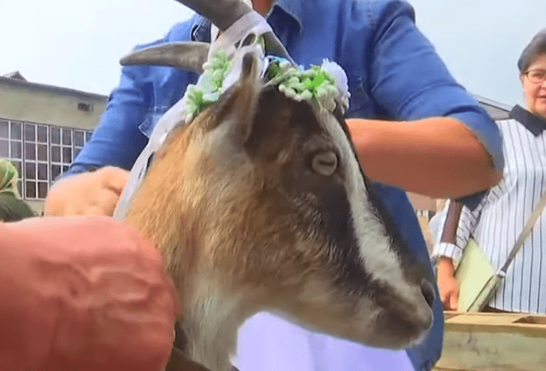 startled goat getting decorations put on head