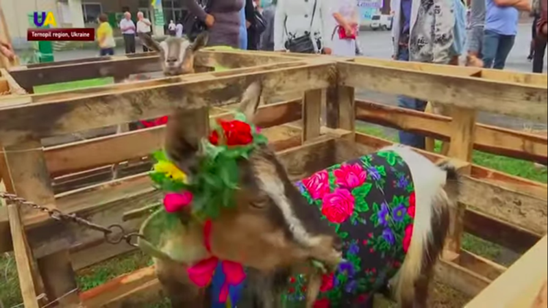 goat in wooden pen dressed in colorful jumper with flowers on head