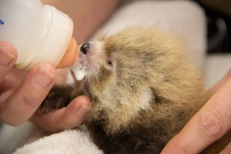 tiny baby red panda being fed milk from bottle