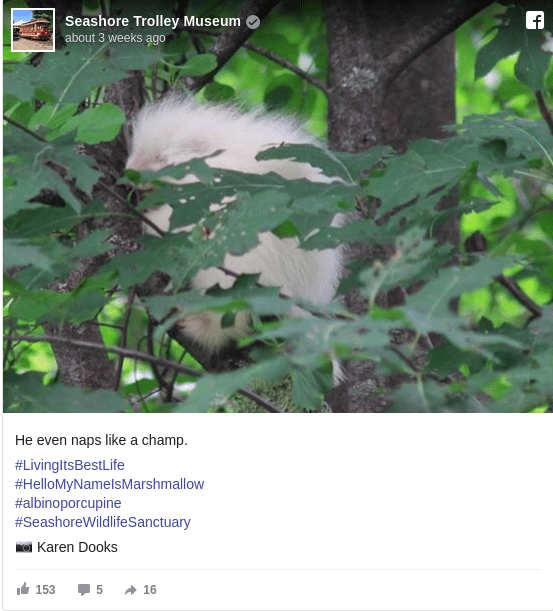 Young albino porcupine found near Maine Museum becomes celebrity