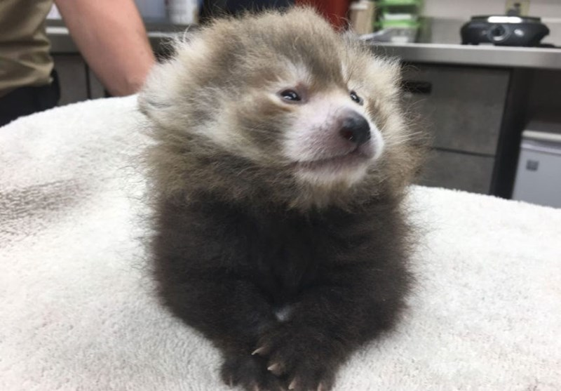 cute fluffy red panda sitting on table