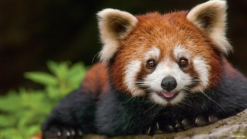 adorable red panda sitting on log