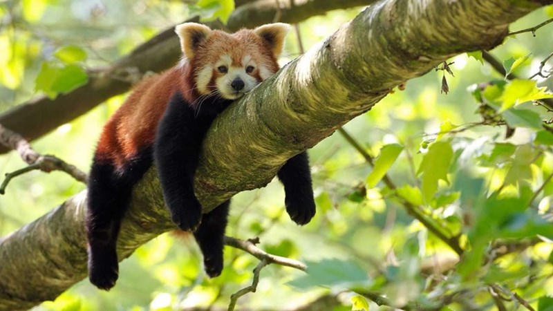 red panda resting on tree branch with legs hanging down green leaves behind it