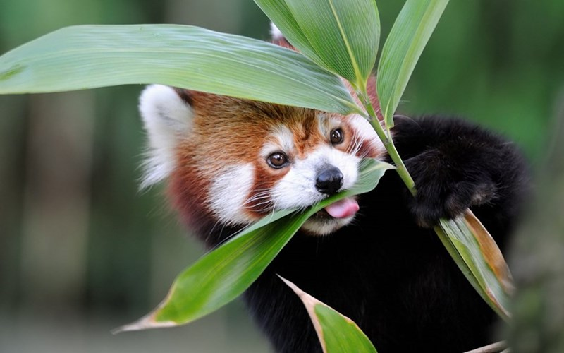 red panda eating piece of bamboo