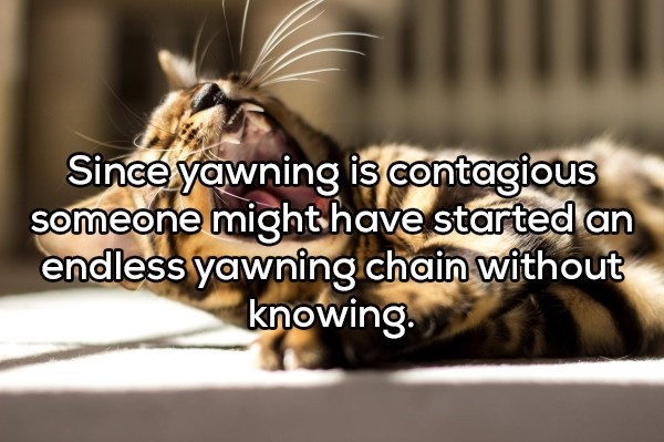 shower thought - Bengal tiger - Sinee yawning is contagious someone mighthavestarted an endless yawning.chain without knowing.