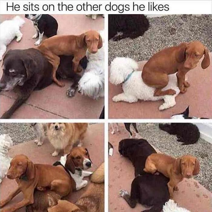 Dog - He sits on the other dogs he likes