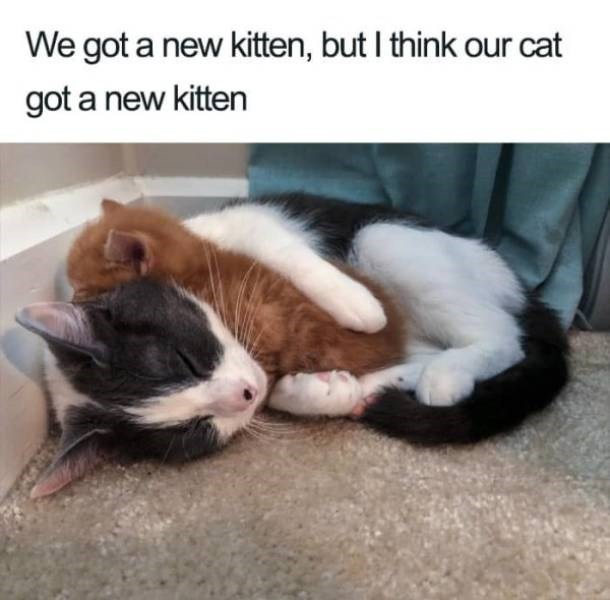 wholesome - Cat - We got a new kitten, but I think our cat got a new kitten