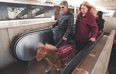 man and woman with miniature horse on leash walking up escalator