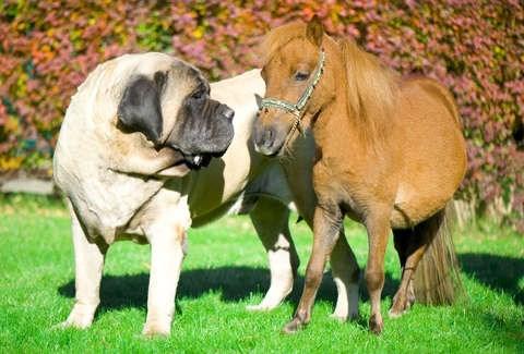 miniature horse and english mastiff dog same size