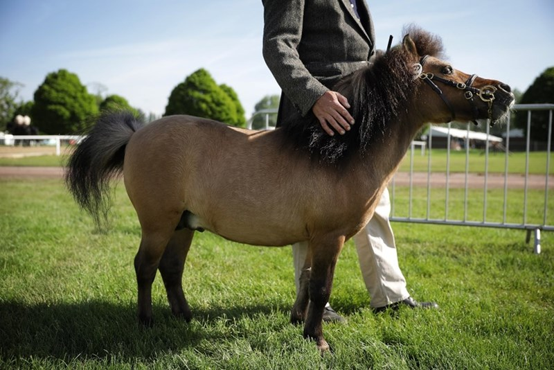 picture person patting miniature horse in field