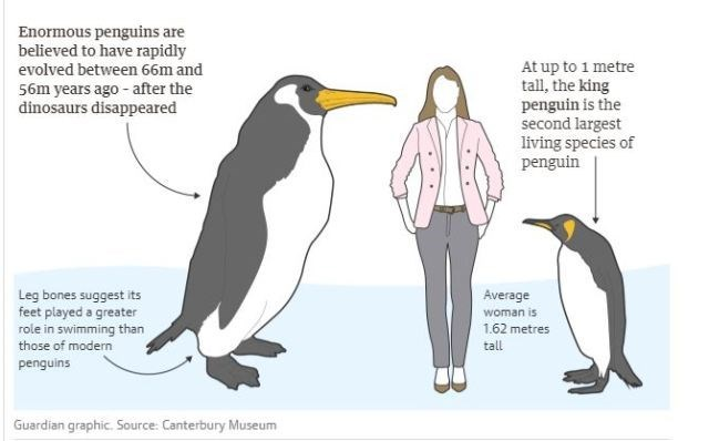 diagram showing woman standing next to small penguins that live today and a giant human sized penguin