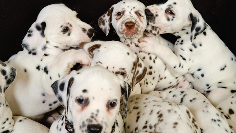 picture dalmatian puppies against black background
