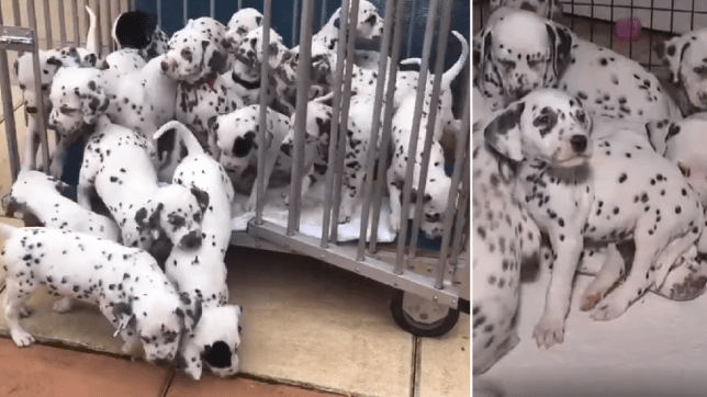 two panel picture of 19 dalmatian puppies in cage