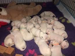 picture 19 white newborn dalmatian puppies sleeping in big pile