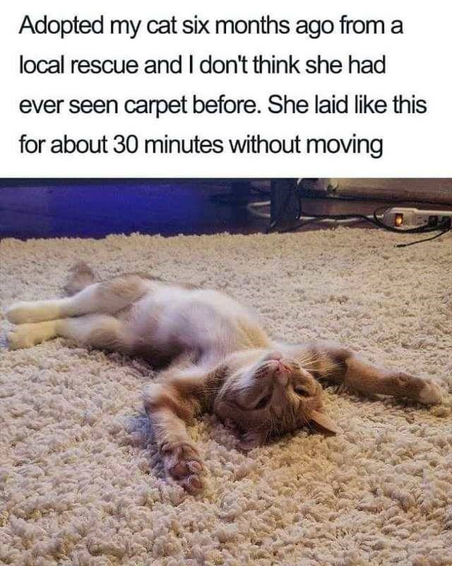 Wholesome animal meme - Adaptation - Adopted my cat six months ago from a local rescue andI don't think she had ever seen carpet before. She laid like this for about 30 minutes without moving