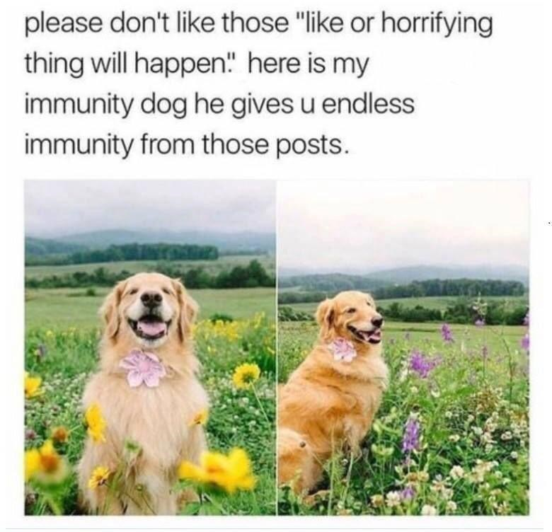 "Wholesome animal meme - Dog - please don't like those ""like or horrifying thing will happen"" here is my immunity dog he gives u endless immunity from those posts."