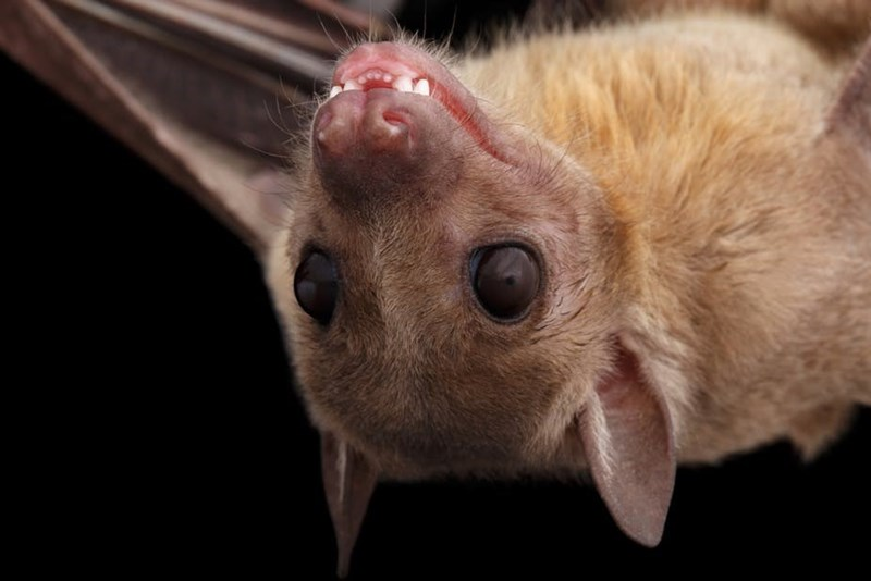 picture cute brown bat smiling upside down