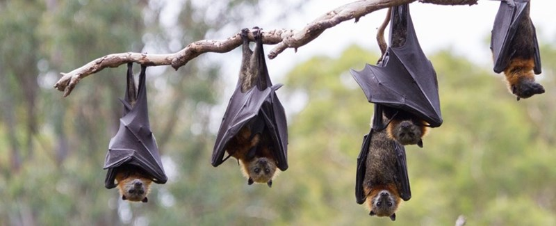 five bats hanging upside down on a tree branch