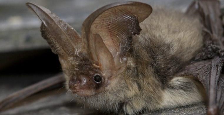 common big eared bat cute
