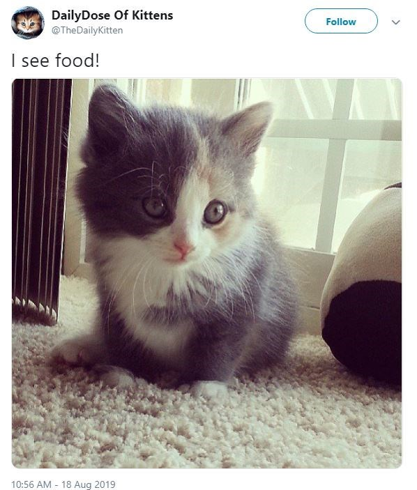 Cat - DailyDose Of Kittens Follow @TheDailyKitten I see food! 10:56 AM 18 Aug 2019