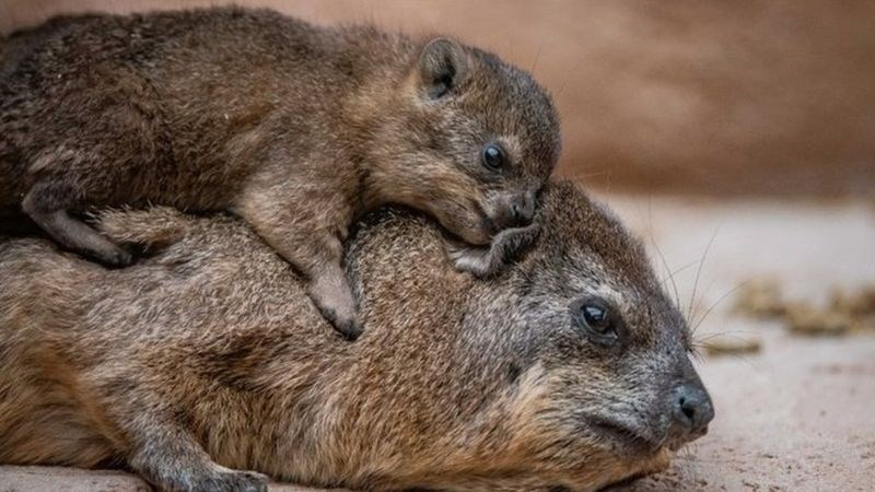 baby rock hyrax lying on it's mums back at chester zoo