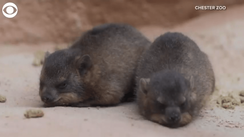 two baby rock hyrax sleeping next to each other