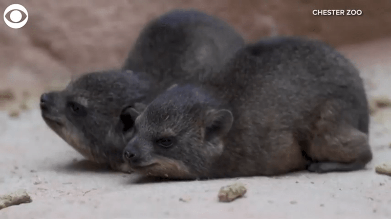 two baby rock hyrax hunching next to each other