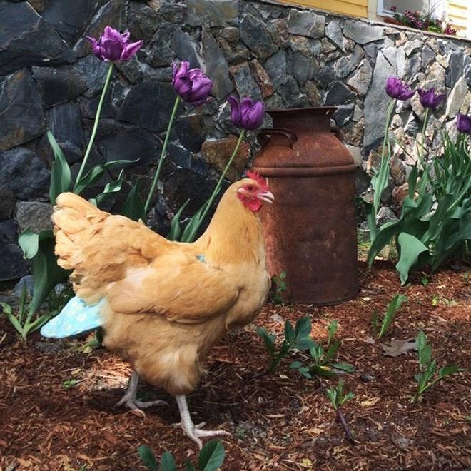 chicken diaper - Chicken
