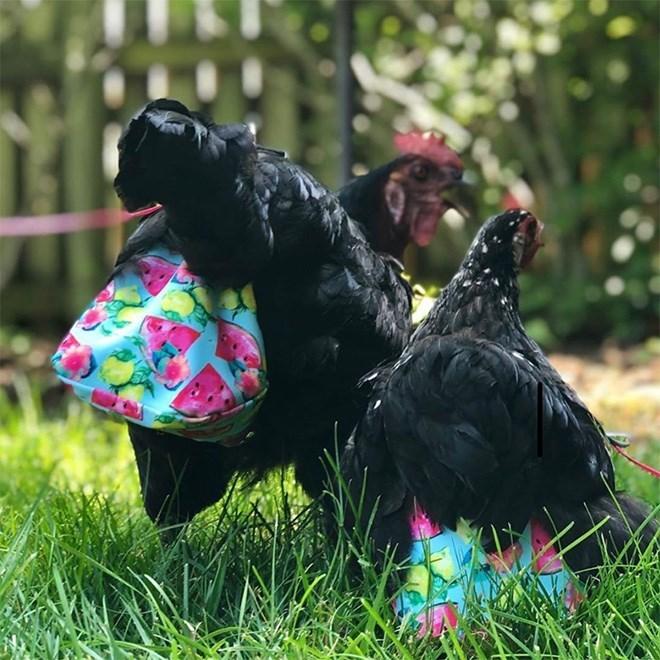 chicken diaper - Vertebrate