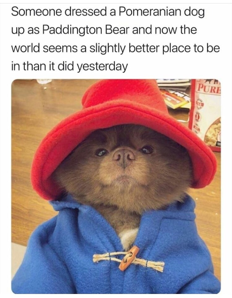 Text - Someone dressed a Pomeranian dog up as Paddington Bear and now the world seems a slightly better place to be in than it did yesterday PURE