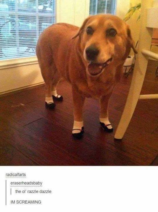 """Tumblr post, picture of a dog wearing little shoes - """"the ol razzle dazzle; IM SCREAMING"""""""