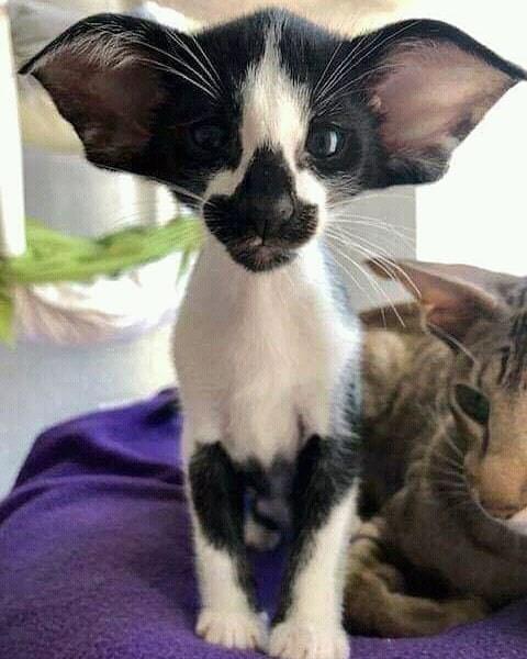 Funny photo of a kitten that has bat-shaped ears