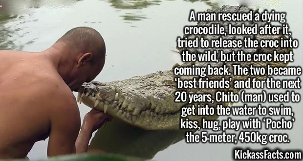Saltwater crocodile - Aman rescued adying crocodile looked after it, tried to release thecrocinto the wild butthe crockept coming back The two became best friends and forthenext 20years, Chito Cmanused to get into the water to swim kiss, hug play with Pocho the 5meter,450kgcroc. Kickass Facts.com