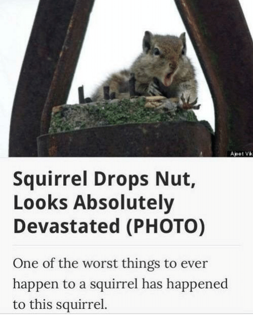 Squirrel - Apet Vk Squirrel Drops Nut, Looks Absolutely Devastated (PHOTO) One of the worst things to ever happen to a squirrel has happened to this squirrel.