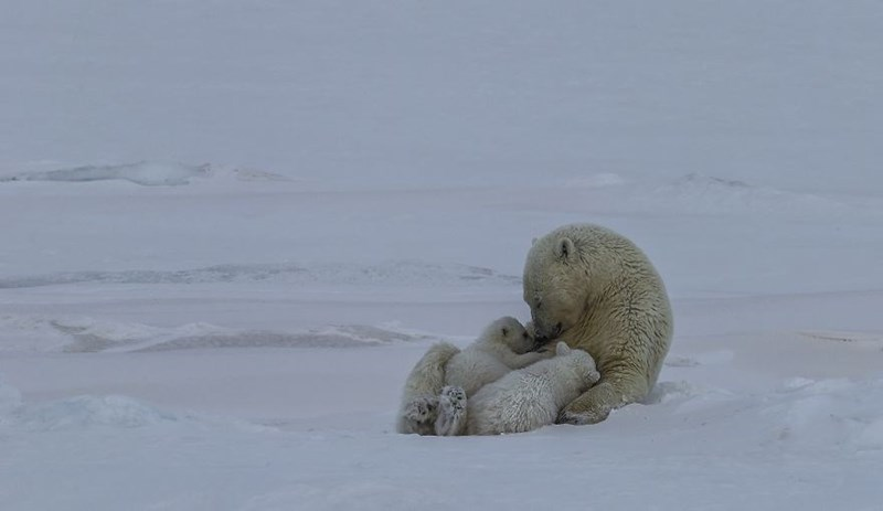 animal photo - Polar bear