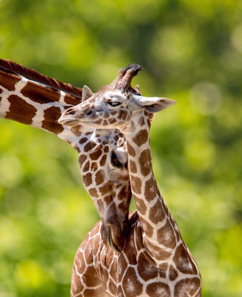 animal photo - Giraffe