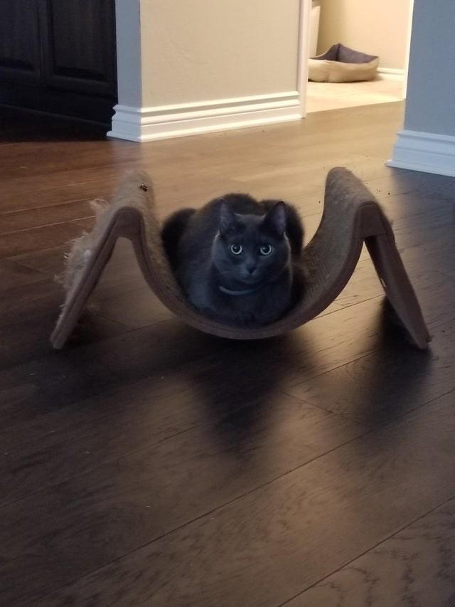 cat loaf - Laminate flooring