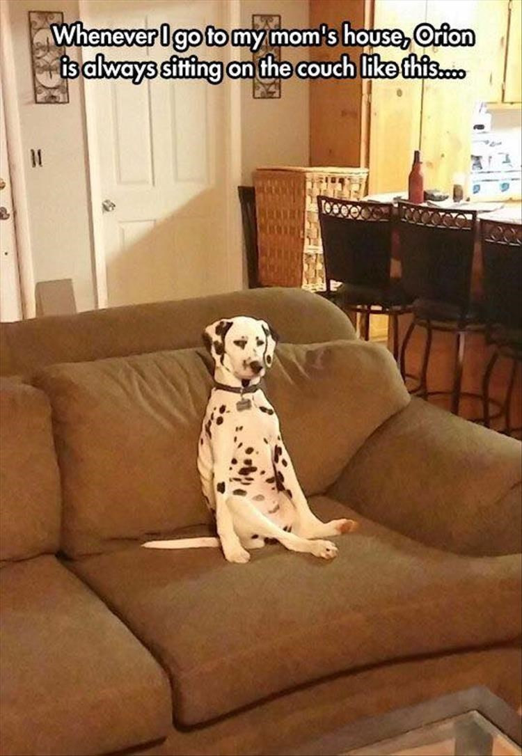 Dalmatian - Whenever Igo to my mom's house, Orion is always sitfing on the couch like this.c0 1