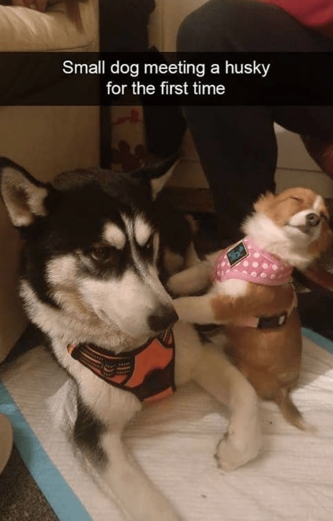 Dog - Small dog meeting a husky for the first time dedat