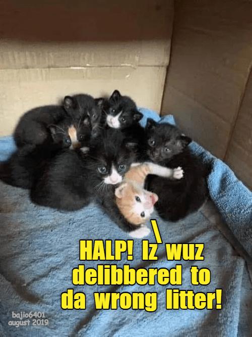 Cat - HALP! Iz wuz delibbered to da wrong litter! bajio6401 august 2019
