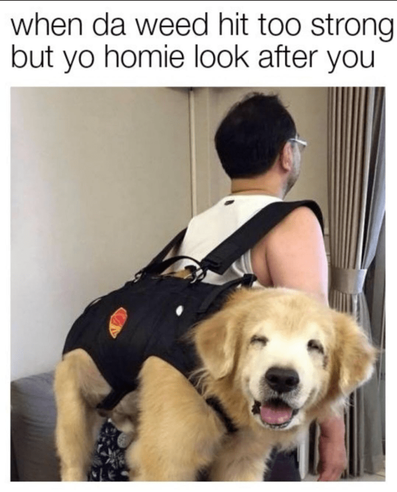 meme - Dog with stoned eyed being carried - when da weed hit too strong but yo homie look after you