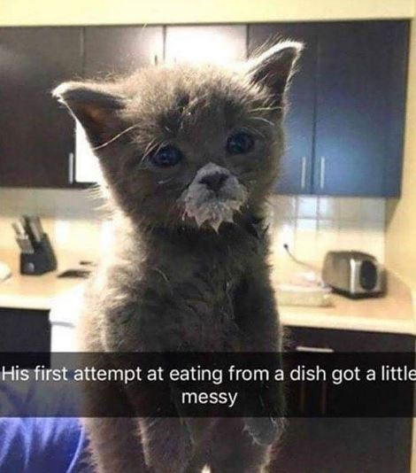 Cat - His first attempt at eating from a dish got a little messy A