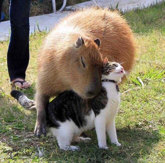 Capybara - Vertebrate - Capbare ww.rmntamstom