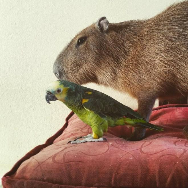Capybara - Vertebrate
